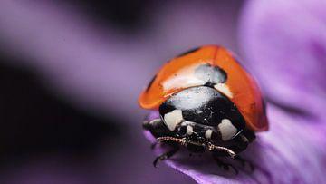 lieveheersbeestje op bloem macro von Mark Verhagen