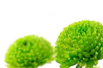 Chrysant Mini Groen van Erwin Plug