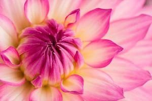 Prachtige Dahlia kleur geel en roze van Studio Wings