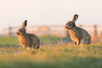 Nature | Lièvres près de la prairie sur Servan Ott