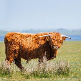 Schotse Hooglander in het Lauwersmeergebied, Friesland van Maria-Maaike Dijkstra