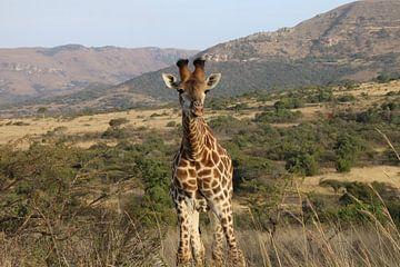 La girafe Afrique du Sud sur Ralph van Leuveren