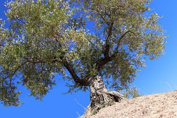 Olijfboom in blauw van jan katuin