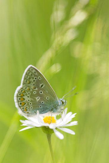 Icarusblauwtje vlinder op bloem van Mark Scheper
