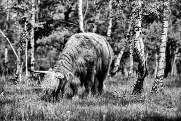 Weidender schottischer Highlander in den Wäldern!