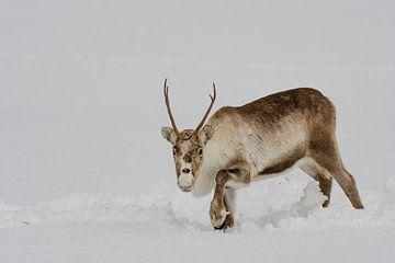Rentier, das im Schnee während des Winters in Nordnorwegen weiden lässt von Sjoerd van der Wal