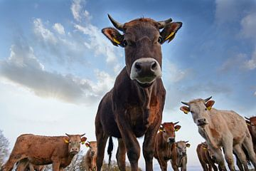 Neugierige Kühe von René van der Horst