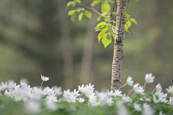 Bosanemonen in het vroege lentelicht van Eus Nieuwenhuizen