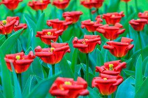 Gekrulde rode tulpen