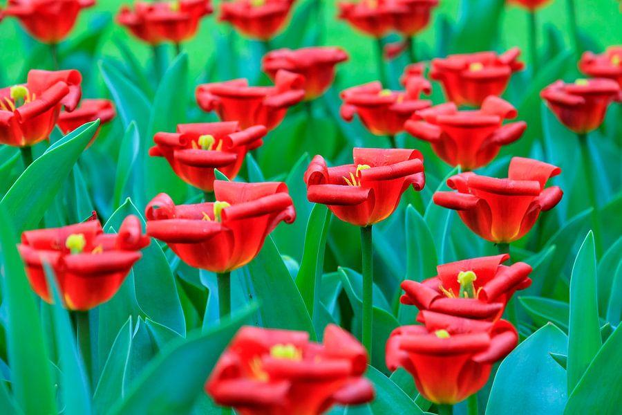 Gekrulde rode tulpen van Dennis van de Water