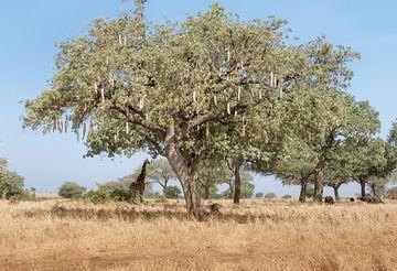Giraffe am großen Baum von Karin vd Waal