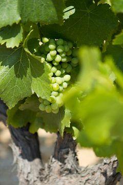 Druivestokken in een wijngaard in Zuid-Frankrijk (2) van rene marcel originals