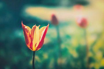 Frühlings Tulpe Tulipa Sprengeri/ Sprengers Tulpe in sanften Bokeh fotografiert von Jakob Baranowski - Off World Jack