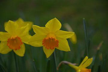 Narcis als teken van het naderende voorjaar van tiny brok