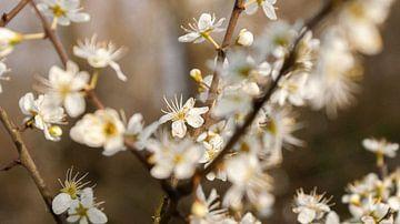 weiße Kirschblüte von Liv Jongman