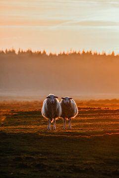Drentse heideschapen. van Prisca Visser