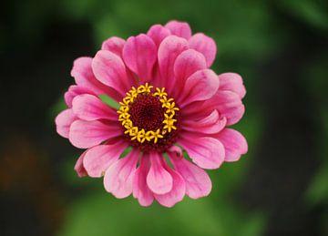 Rosa Blume von MSP Canvas