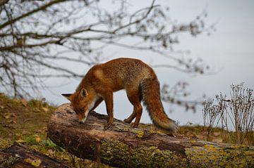 Rode vos op boomstam