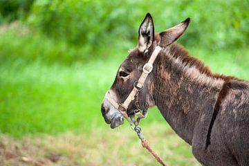 Kop van een ezel van Ivonne Wierink