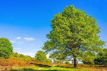 Big oak tree van