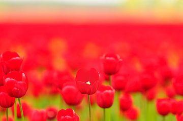 Rode Tulpen von Sjoerd van der Wal
