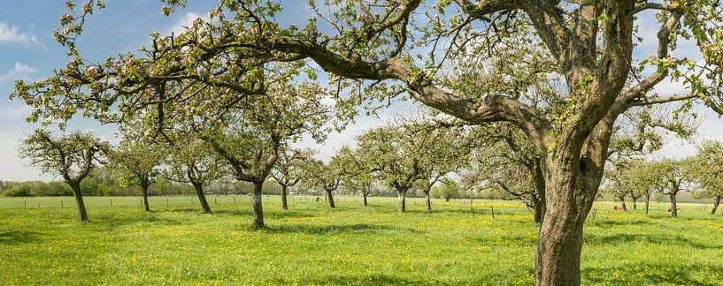 Appelbomen in een boomgaard in het voorjaar van Sjoerd van der Wal
