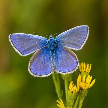 Die schönste Common Blue auf Ihrer Wand ... von Hans Brinkel