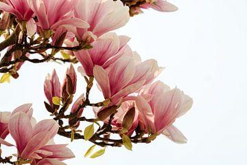 Magnolia von Mrs van Aalst