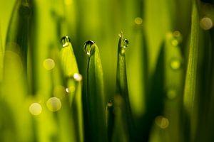 Waterdruppels op groene grassprieten van