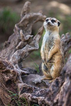 Portret van enig meerkat of Suricate die met wazige achtergrond staan van Mohamed Abdelrazek