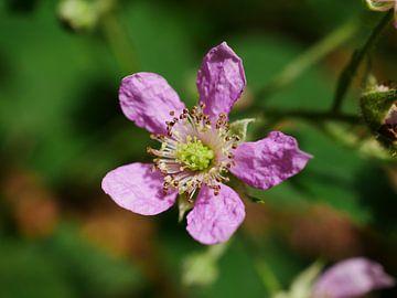 Eine rosa blühende Brombeere. von Wim vd Neut