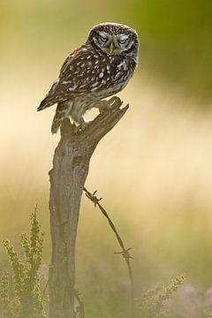 Kleine Eule auf Baumstamm im letzten Licht von Jeroen Stel