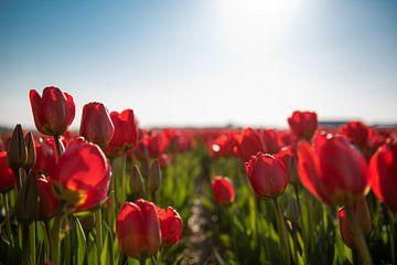 Rote Tulpen von Jacky van Schaijk