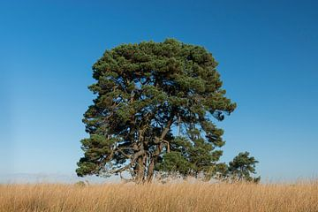 Mooie markante boom op de hei