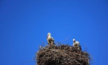 Zwei weiße Störche sitzen im Nest von Ulrike Leone