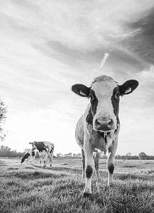 Nieuwsgierige koe in Nederlands weiland (zwart-wit)