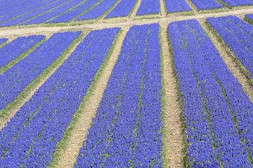 Veld druifhyacinten - blauwe druifjes met paden  von Ronald Smits