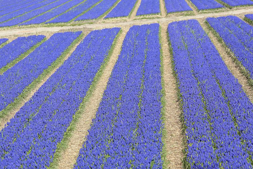 Veld druifhyacinten - blauwe druifjes met paden  van Ronald Smits