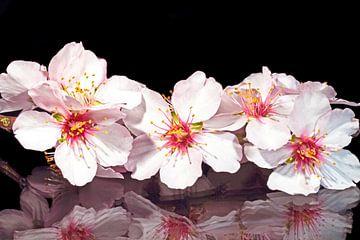 Bloeiende amandel bloesem in het voorjaar van Nisangha Masselink