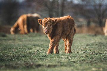 Neugeborenes schottisches Highlander-Kalb auf der Wiese von Maarten Oerlemans