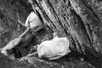 rozen von Ralph Hoeberechts