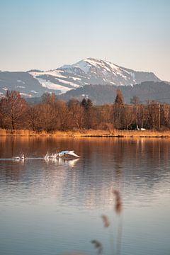 Abflug des Schwanes am Sulzberger See zum Abend mit dem Grünten im Hintergrund von Leo Schindzielorz