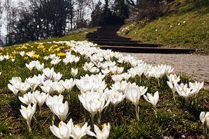 Weisse Krokus Blüten neben einem Park Weg
