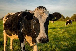 Close-up Nederlandse koe in weiland