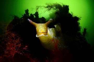 Groene wierslak in het Grevelingenmeer