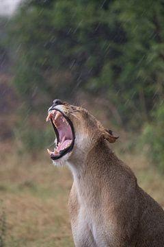 Löwe im Regen von Ed Dorrestein