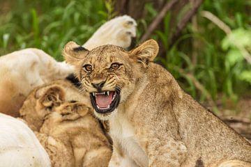 Een leeuwenwelpje dat zijn tanden laat zien. van Gunter Nuyts