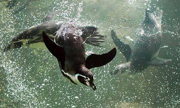 Viele Pinguine schwimmen schnell und gewandt im Wasser (Meer). Ein cleverer Pinguin schwimmt in türk von Michael Semenov