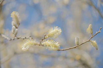 Frühlingsblüte von Caroline Drijber