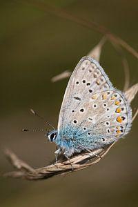 Prachtig Icarusblauwtje